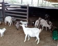 Cabras Tambo Completo en Venta