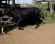 Vendo 30 Vacas 1/2 Uso Preñadas Y Paridas