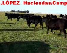 Vacas Nuevas Angus Preñadas
