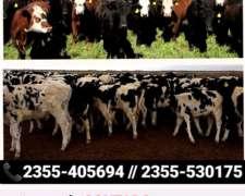 Compra Venta de Hacienda Invernada y Cría Tambos