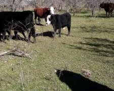Compro Vacas En Distintas Categorias