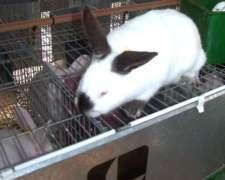 Conejos Reproductores Neocelandeses Y Californianos