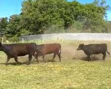 115 Vaquillonas Angus, Preñadas, En Tandil
