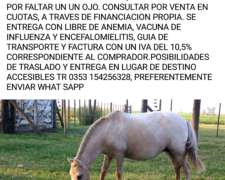 Vendo Ponys De Baja Estatura, Algunos Mansos De Bozal