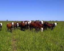 Compro Vacas De Invernada 500 Unidades Por Semana.