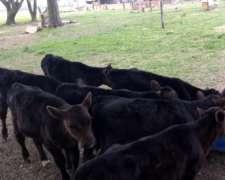 Excelentes Terneros de 70 Kg Cruza Holando con Angus Negro