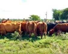 Compro 200 Vacas Preñadas.