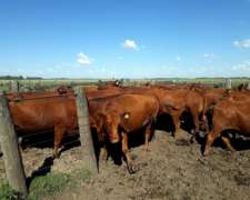 40 Vacas con Ternero al PIE