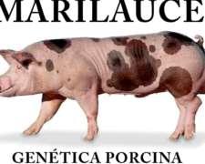 Reproductores Porcinos Premium .