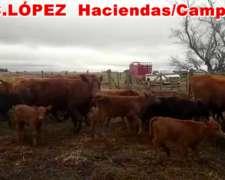 Vacas Coloradas Paridas .