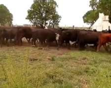 Se Venden 19 Vacas Cut Preñadas Y 13 Paridas