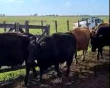 Vendo Lote de Vacas y Toros para Servicio