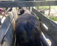 65/70 Novillos de Isla 600kg