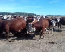Vacas Con Garantía De Preñez