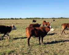 90 Vacas En Servicio - Ideales Para Invernar Y/o Última Cría