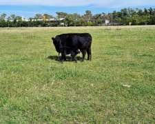 Vendo Vacas Preñadas, Toro, Vaquillonas.