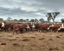 180 Vacas Braford Gordas