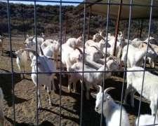 Saanen. Cabras Preñadas Y Reproductores.