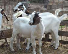 Cabras Boer Reproductores Machos Y Hembras
