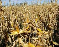 Busco de 300 a 1.500 Has Certificadas o NO P/maíz Orgánico