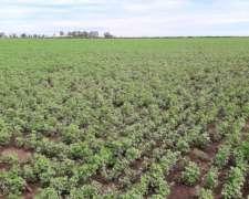 Rollos Puros de Alfalfa con Cutter y Malla