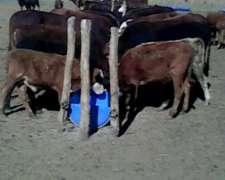Compro Vacas De Invernada,terneras,vac Prenadas Nov.to 250 K