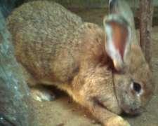 Conejo Gigante De Flandes De 40 Dias