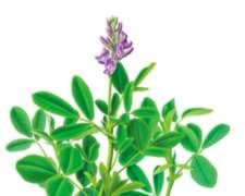 Semilla De Alfalfa Limpia