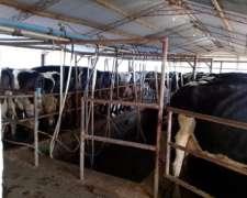 Dueño Vende Tambo Con Campo E Intalaciones Mas Vacas