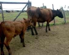 Vendo 3 Vacas con Cría