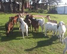 Vendo Cabras Y Dos Machos Bóer