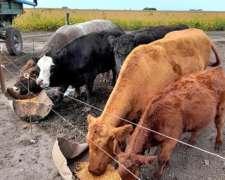 Vacas con Cria a