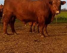 Toros Aberden Angus Colorado