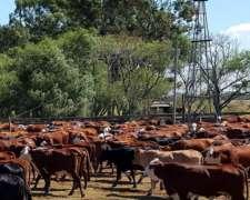 Vendo Lote de 180 Vacas Preñadas