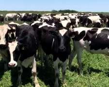 Vendo Vacas Y Vaquillonas De.tambo