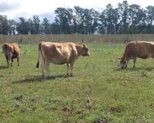 Vacas Yersey Exelente Genoma