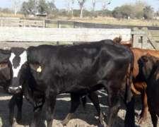 Venta Jaula Simple Vacas Invernada