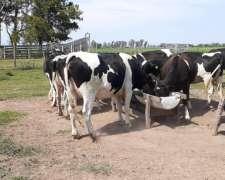 Vendo Vaquillonas de Tambo a Parir