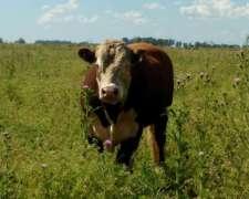 Venta de Toros Polled-hereford