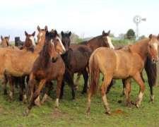 Caballos Criollos:yeguas Mansas, Padrillos, Potrancas,potros