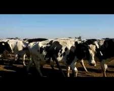 Vacas De Ordeñe Genética Debernardi