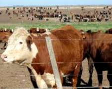 Compra Y Venta / Novillos Y Vacas 350kg En Adelante.