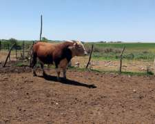 2 Toros Hereford Puros