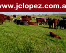 Vaquillonas Paridas Hereford, Shorthorn y Caretas
