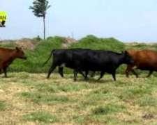 Compro Vacas Vacias O De Negocio