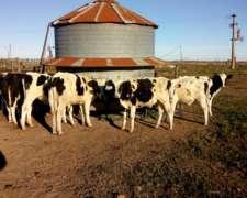 Vendo Vacas de Tambo en Producción
