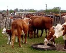 Vendo 25 Vacas Ultimo Ternero Con Cria Al Pie