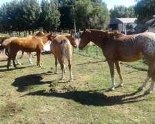 Equinos Venta De Caballos Mansos Y Potrillos
