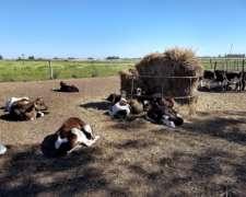 Terneros Holando Y Cruza Castrados, Aprox130 Kgs