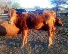 Cambio 5 Terneros por UN Toro